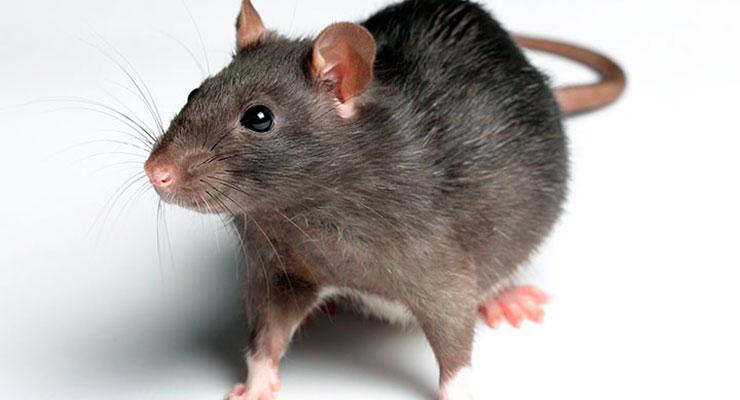 especies de rata
