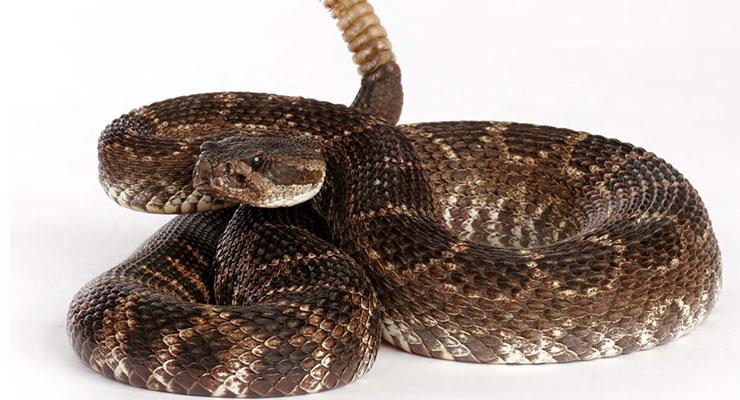Identificar serpiente venenosa