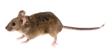 Mice breeding rate: All you need to know