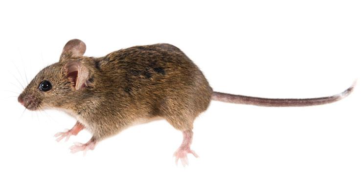 tasa reproductiva del ratón doméstico