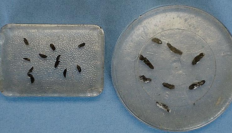 Aprende a diferenciar e identificar las heces y excrementos de ratón y rata